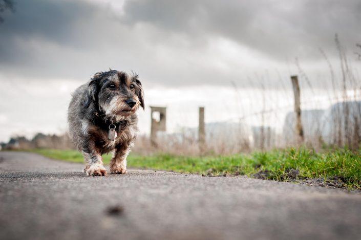 Dackel, Dackelblick, Hundefotograf, Tierfotografie, Tierfoto, Hundefoto, Hund