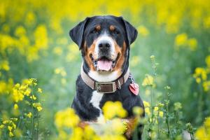 Fotoshooting. Tierfotografie. Hund im Rapsfeld