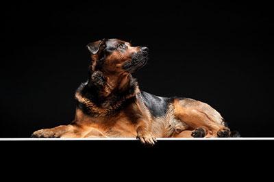 Tierfotograf, Schäferhund Rottweiler Mix im Studio, Hund liegt auf Plexiglasplatte